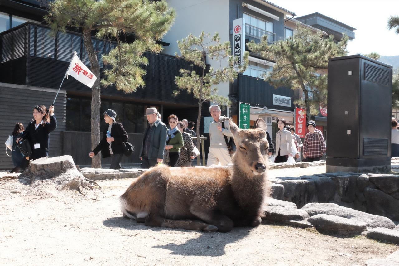 Miyajima Deer Chillin'